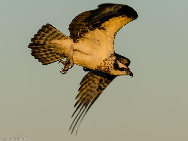 Osprey in flight at dusk. Hiwassee Wildlife Refuge.