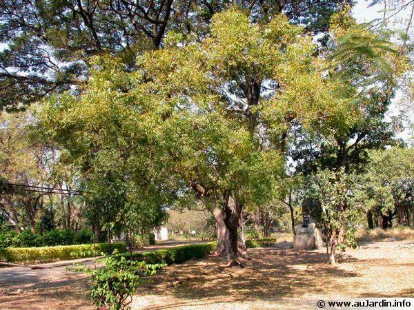 """Le neem, aussi appelé """"margousier"""" ou """"lilas de Perse"""""""