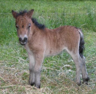 pony veulen