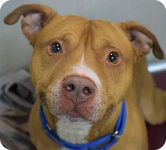 Washington, DC - Pit Bull Terrier Mix. Meet Q, a dog for adoption. http://www.adoptapet.com/pet/17860898-washington-dc-pit-bull-terrier-mix