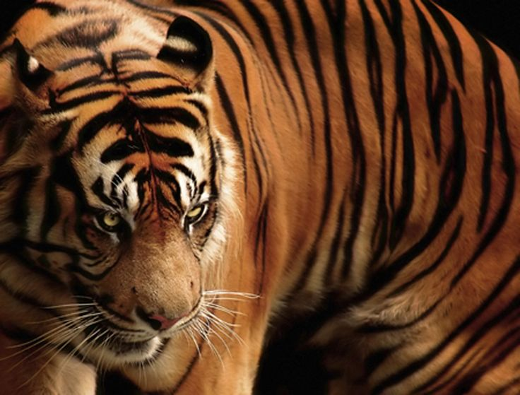 The Javan tiger has been completely eradicated since 1980's.