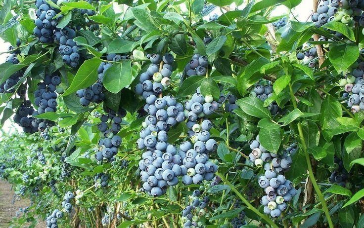 Recommended Highbush Blueberry Varieties, Highbush Blueberries