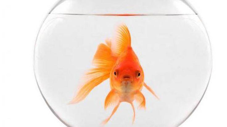 Ikan mas baik hati membuat para netizen Jepang terharu