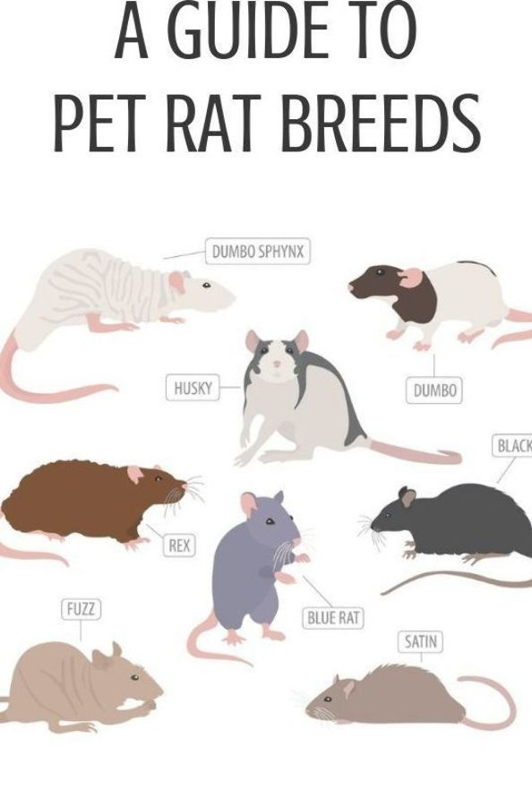 Have You Ever Wondered What Breed Is Your Pet Rat Now Is The Time To Find Out Check Out Our Guide Covering The Most Common P In 2020 Pet Rat Cages