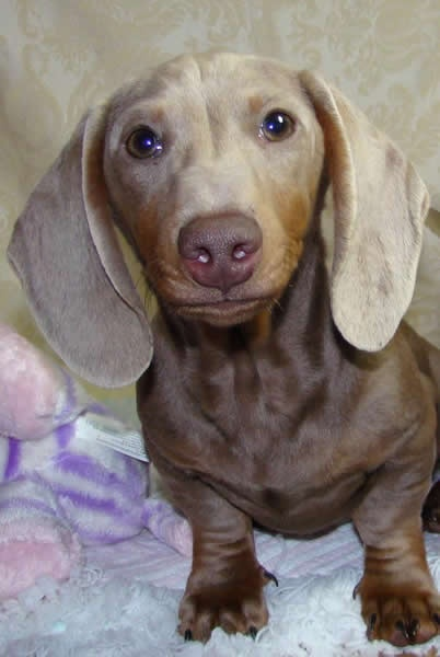 55 Best Images About Blue Isabella Dachshunds On Pinterest