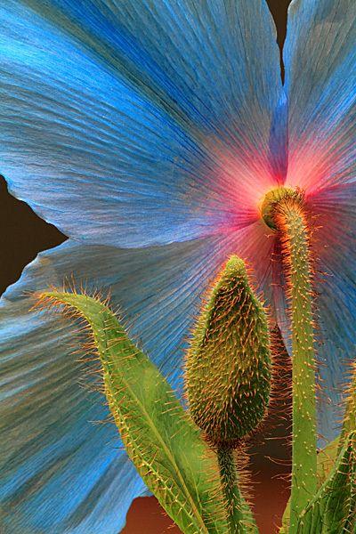 "Blue Poppy and Bud ~ Miks' Pics ""Flowers ll"" board @ http://www.pinterest.com/msmgish/flowers-ll/"