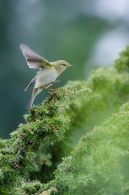 Willow warbler by Trond Westby on 500px