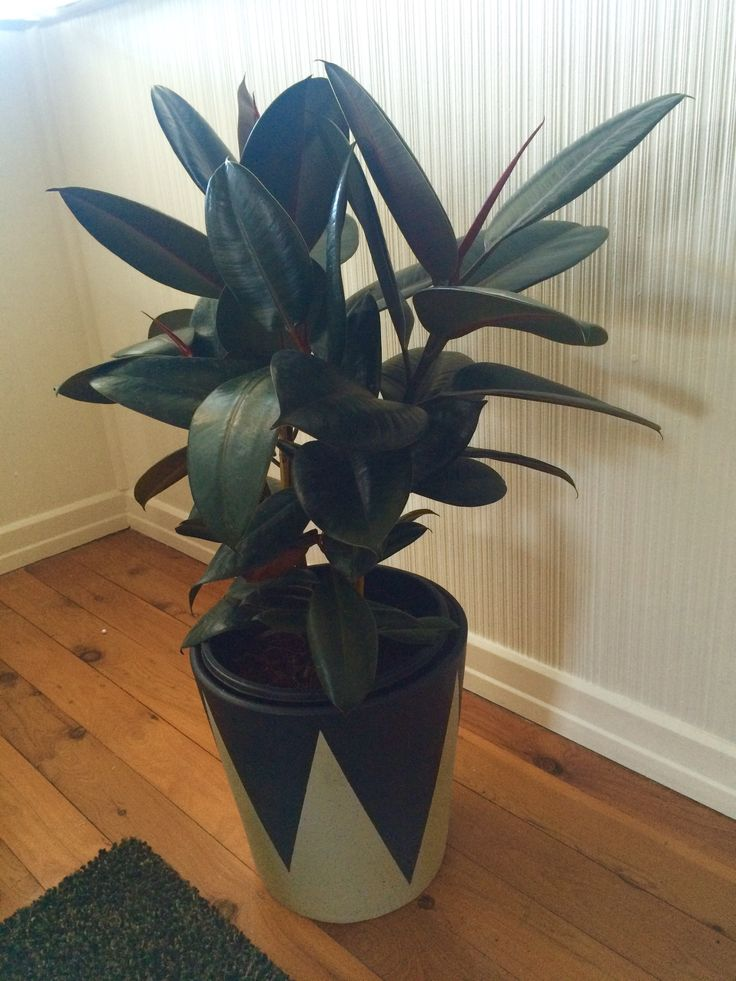No 50's is complete without a Rubber Tree plant!
