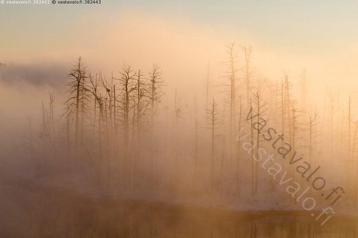 Merimetsojen tuhoama - saaristo talvi merisavu usva sumu merimetsojen tuhoamat kuolleet puut puunrungot rangat auringonvalo linnut merimetso tuhotut saaret ulosteet pesimäsaaret pesät puut luonto Itämeri sumuinen usvainen pesimäsaari maisema