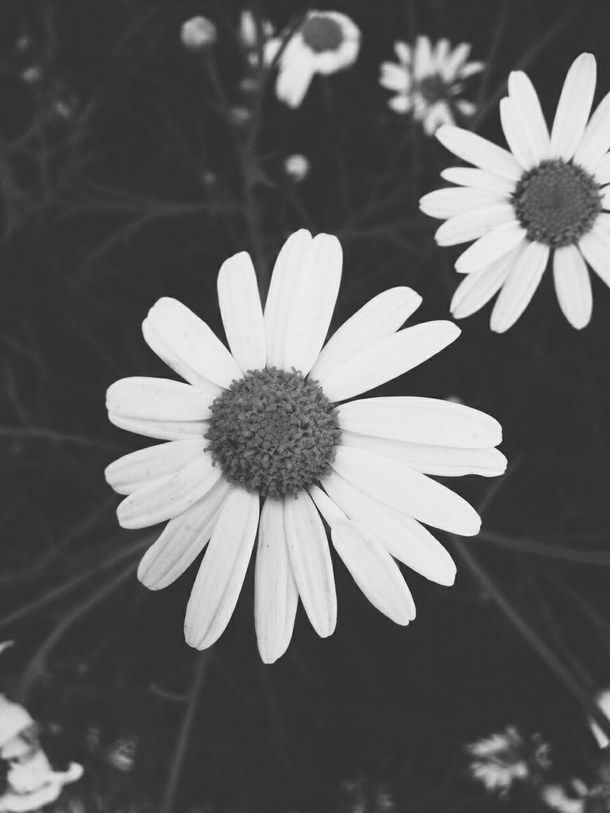 Black and white daisies black and white flowers floral daisies daisy flower pictures