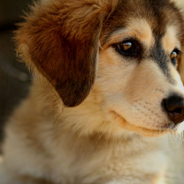 Husky St Bernard Mix Puppies Animals on pinterest  saint