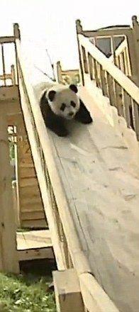 Video: 4 pui de urs panda, vedete pe internet