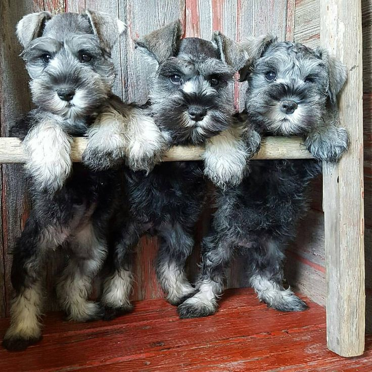 See this Instagram photo by @schnauzerworld • 3,224 likes