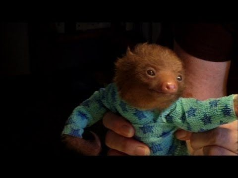 "A Baby Sloth In A Onesie.    Taken from Animal Planet documentary ""Meet the Sloths"", this  video tells the story of a tiny baby sloth who loses his fur due to mange. The race is then on for staff at the Avarios Sloth Sanctuary in Costa Rica to dress the little critter in a onesie so he's warm enough to survive."