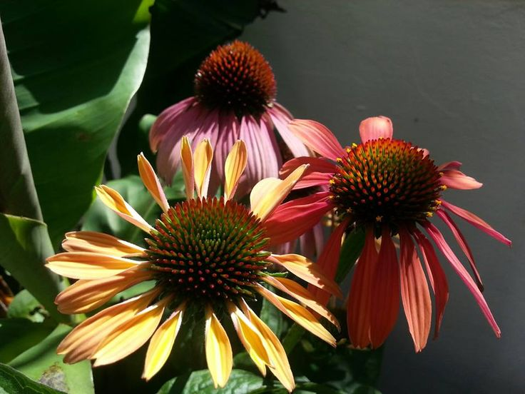 This Echinacea called Summer Cocktail is a must for the heat and storm cocktail that UK is enjoying at the moment