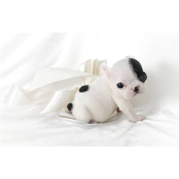 French Bulldog Puppy! I would love one in Black, I'd probably call him Emile or Gille.