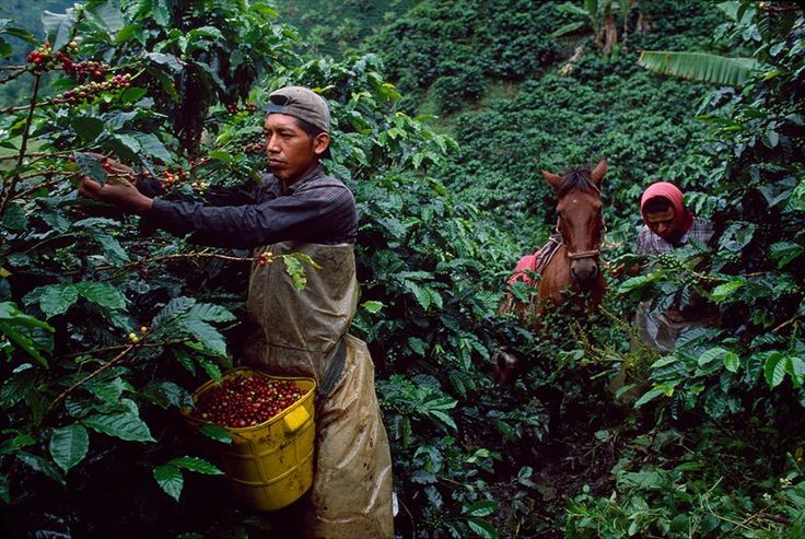 Coffee harvesting, Colombia