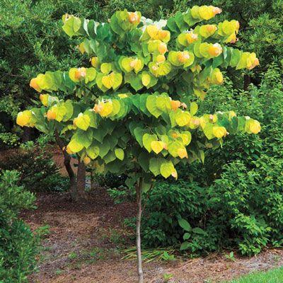 Best 25 rising sun redbud ideas on pinterest magnolia for Spring hill nursery garden designs