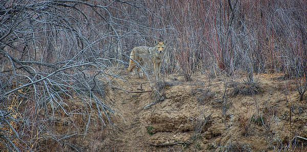 http://fineartamerica.com/featured/coyote-in-the-brush-britt-runyon.html#comment12769872
