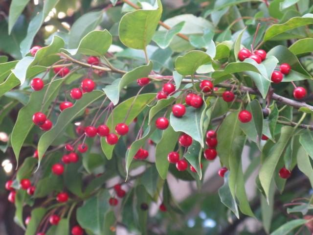 11月25日の誕生日の木は「ソヨゴ(冬青)」です。 モチノキ科モチノキ属の常緑小高木。原産地は、日本、中国、台湾。日本においては、新潟県と宮城県を北限として以南の本州、四国、九州に分布します。山間部によく見られ、半日陰から日当たり地までの広範囲の山野に生息します。 樹高は5m~10m。樹皮は灰褐色で滑らかで、皮目があります。葉は革質で厚く卵形で、縁にギザギザ(鋸歯)はありません。葉の長さは4cm~8cmくらいで、縁は波打っています。 開花期は5月~6月。雌雄異株で、雄花と雌花ともに、直径4mmほどと小さく、色は白色です。雄花は長さ2cmほどの花柄の先に房状に5個前後つけます。雌花は長さ4cmほどの長い花柄の先に通常1個つけます。実は1cmくらいの球形の核果(水分を多く含み中に種が1つある)で、10月~11月に橙色から赤く熟します。
