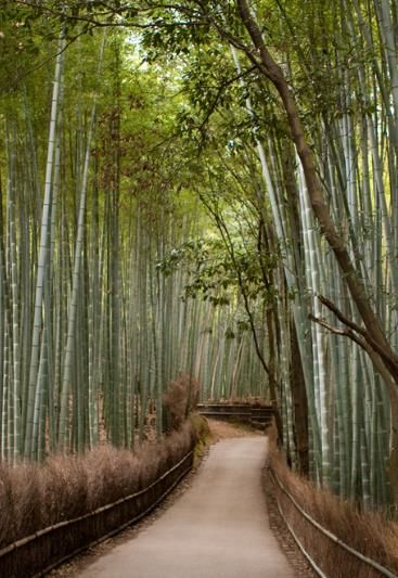 Bamboo groves of Arashiyama in Kyoto, Japan - Pretty. If the food forest thing doesn't pan out, I may go this route for the yard.