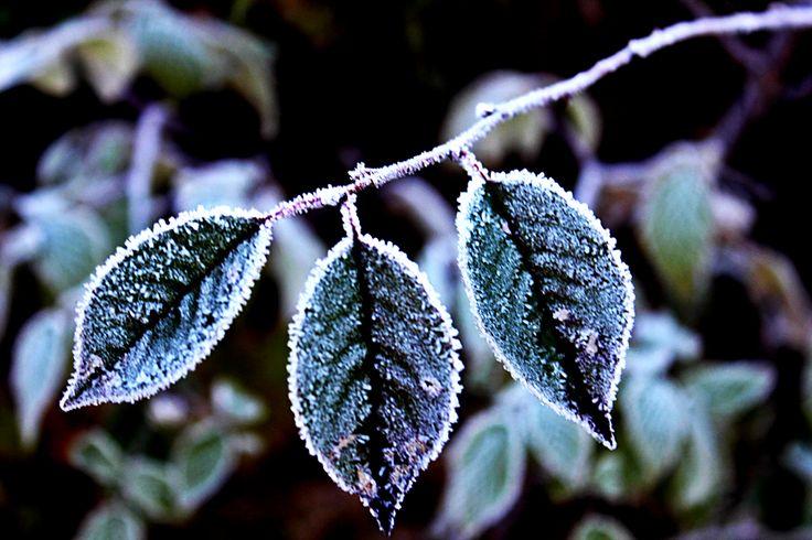 Talvilehdykkä