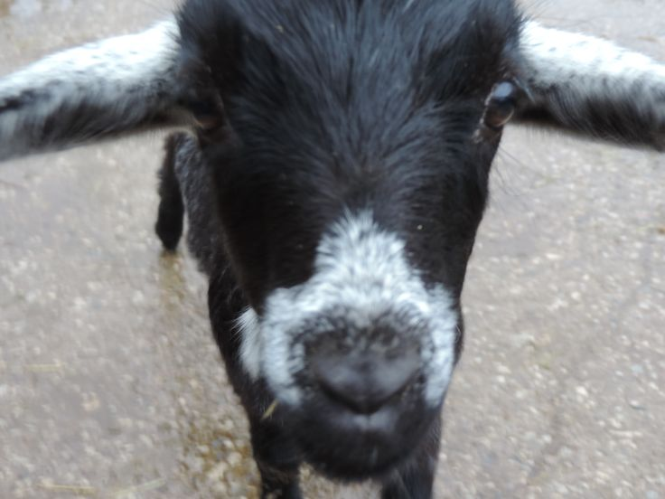 The goat tried to eat my camera but I go away in time! He ate my boot instead out of spite. Adorable, goat-y spite.