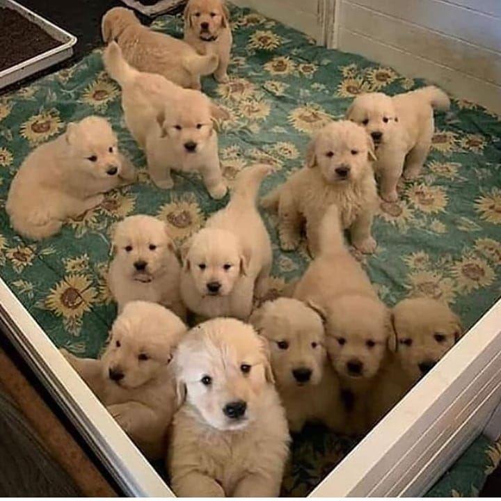 775 次赞 10 条评论 Loveforlabra 在 Instagram 发布 This Is What Heaven Looks Like Dm For Credit All Rights Bel In 2020 Puppy Adoption Dogs Cute Dogs And Puppies