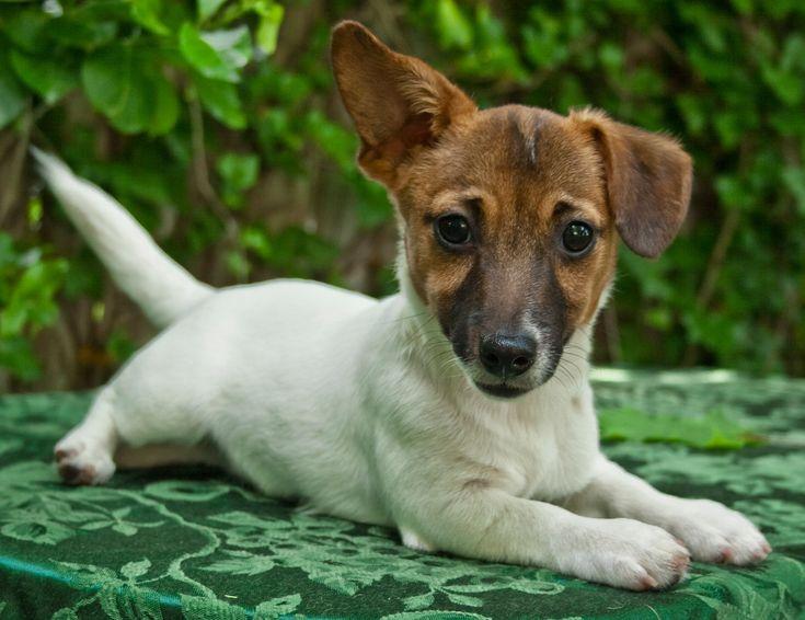 Farm's IrishJack - Irish Jack Russell Terriers