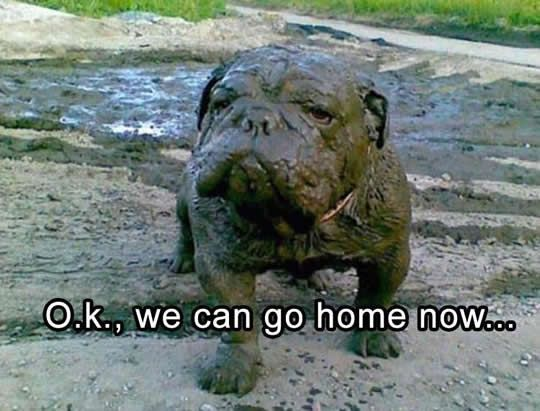 french bull dog bathed in mud