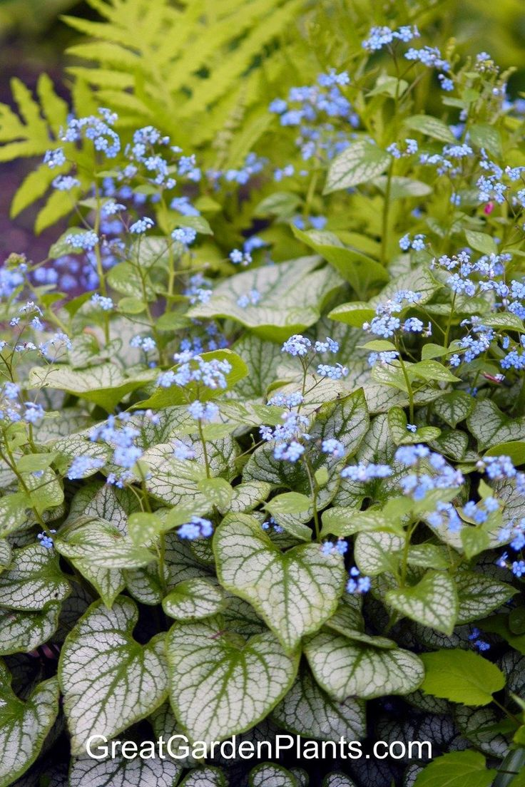 141 best in my 5b garden perennials images on pinterest brunnera macrophylla jack frost white flower farm quick facts common name siberian bugloss heartleaf bugloss hardiness zone s w height deer dhlflorist Image collections