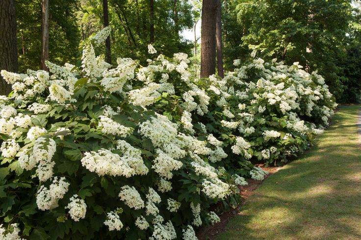 7. When is the right time to prune my hydrangeas? - The Grumpy Gardener's Guide to Hydrangeas - Southernliving. What is it with you people who always want to chop on things? Hydrangeas need little pruning other than removing any dead wood or shortening a wayward branch. And as I said before, if you prune certain types at the wrong time, you won't get any flowers. So pay attention. Here are the best times to prune hydrangeas:  Once-blooming French hydrangea: summer Reblooming French…