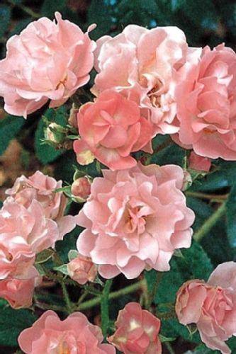 Souvenir d'Adolphe Turc ~ Polyantha Rose
