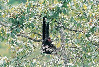 dit is de bosduivel. hij leeft in het Amazonegebied. hij eet vruchten, noten, bladeren en bloesems. hij kan 20 jaar worden en wordt 9kilo.  hijwordt 40 - 60 cm,  en zijn staart wordt 60 - 90 cm