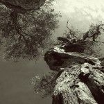 Acropolis olive tree