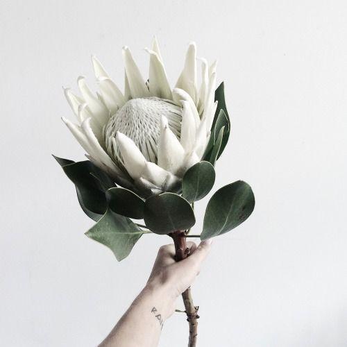 White protea//