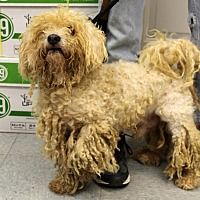 Pictures of Bob Marley a Bichon Frise Mix for adoption in Martinsville, IN who needs a loving home.