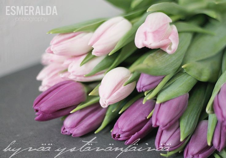 Happy Valentine's Day! Tulips in lilac.
