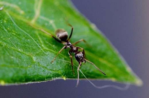 Faites fuir les fourmis avec une synergie de 4 huiles essentielles