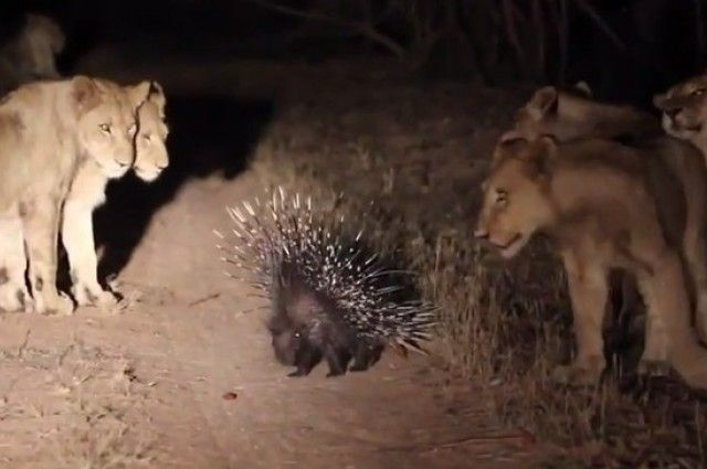 Lone Porcupine Skillfully Defends Himself Against 17 Hungry Lions | IFLScience