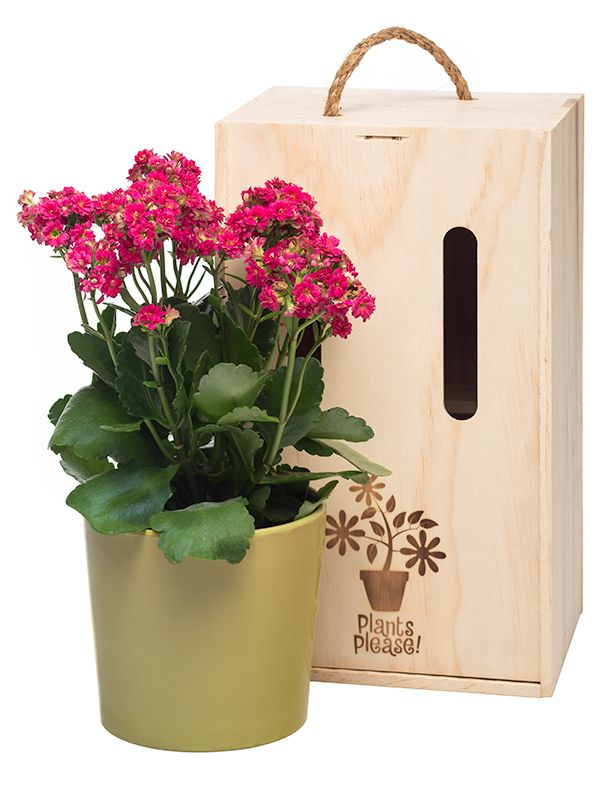 Gorgeous Kalanchoe in decorative pot and gift box. Delivered within NZ