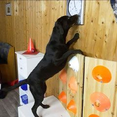 """Scent detection (engl. scent """"Geruch"""" und detection """"Entdeckung"""") ist das Suchen und Anzeigen eines bestimmten Geruches, auf den der Hund geprägt (englisch: imprint) wurde. Einige Beispiele von Aufgabengebieten in denen Hunde eingesetzt werden: ¤Rauschgift ¤Sprengstoff ¤Bettwanzen ¤Handys, SIM Karten, Akkus (vor allem in Gefängnissen) ¤Unter- und Überzuckerung bei Diabetes ¤Pyrotechnik (zum Beispiel vor Fußballspielen) ¤Elfenbein, verschiedene Tierarten (die illegal ins La..."""