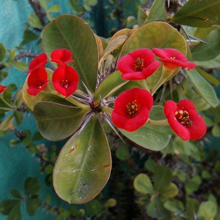 Siempre me han gustado estas pequeñas flores encendidas de la planta llamada Corona de Espinas.
