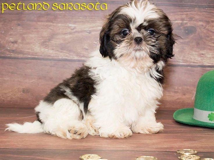 Shih tzu puppies for sale virginia beach