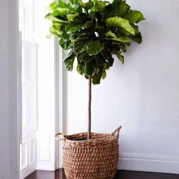 Fiddle Leaf Fig for sale Online   Garden Goods Direct