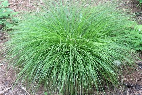 Carex radiata 39 halifax 39 canada alabama and of for Tall grass plants