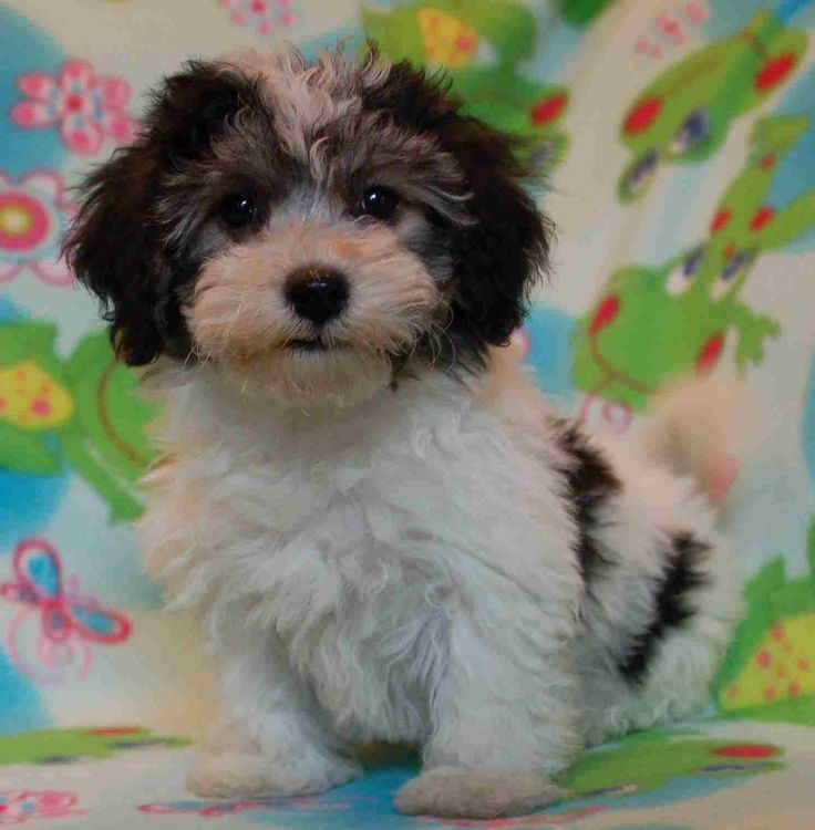 Havenese puppies are so cute
