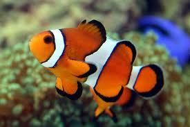 True Percula Clownfish.  Hoping to pick up a breeding pair for the bubble tipped rose anemone.