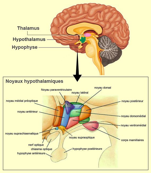 (région)Structure du système nerveux central ; partie de l'encéphale (face…