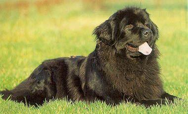Terre Neuve - Mon chien préféré...